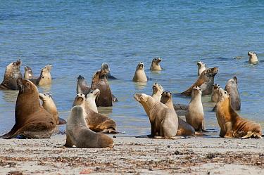 Australian Sea Lion (Neophoca cinerea) bulls with females, Hopkins Island, South Australia, Australia