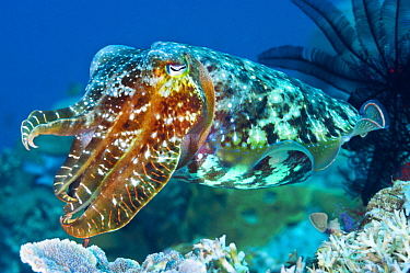 Broadclub Cuttlefish (Sepia latimanus), Milne Bay, Papua New Guinea