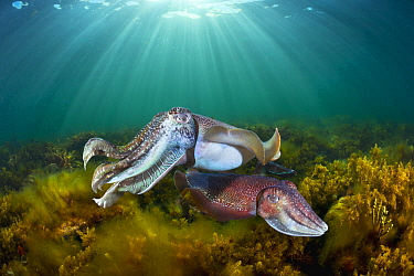 Australian Giant Cuttlefish (Sepia apama) male and female, Whyalla, South Australia, Australia