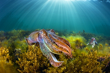 Australian Giant Cuttlefish (Sepia apama) pair, Whyalla, South Australia, Australia