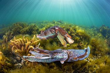 Australian Giant Cuttlefish (Sepia apama) males fighting over female, Whyalla, South Australia, Australia