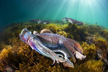 Australian Giant Cuttlefish (Sepia apama) group gathered for mating, Whyalla, South Australia, Australia