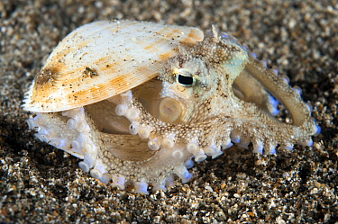 Veined Octopus (Octopus marginatus) hiding in shell, Anilao, Philippines