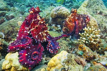 Reef Octopus (Octopus cyanea) pair, Milne bay, Papua New Guinea