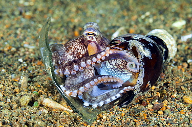 Veined Octopus (Octopus marginatus) hiding in bottle, Anilao, Philippines