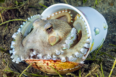 Veined Octopus (Octopus marginatus) hiding in ceramic cup using a shell as a door, Anilao, Philippines