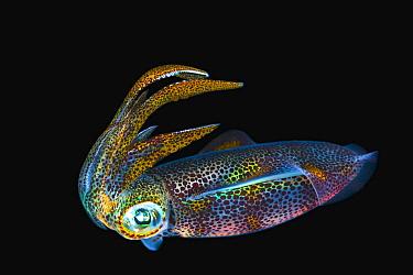 Bigfin Reef Squid (Sepioteuthis lessoniana) juvenile at night, Anilao, Philippines