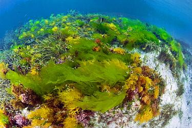 Sea Lettuce (Ulva australis) and other alga, Hopkins Island, South Australia, Australia