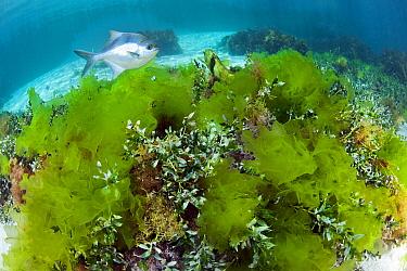 Sea Sweep (Scorpis aequipinnis) in Sea Lettuce (Ulva australis), Hopkins Island, South Australia, Australia