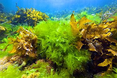 Sea Lettuce (Ulva australis) and other alga, Yorke Peninsula, South Australia, Australia