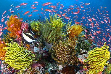Sea Goldie (Pseudanthias squamipinnis) school in coral reef with with feather stars, Great Barrier Reef, Queensland, Australia