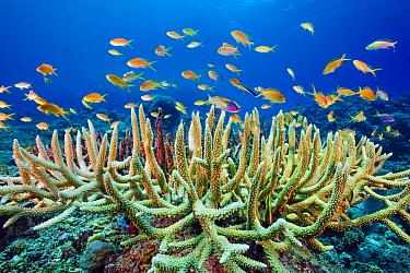 Red-cheeked Anthias (Pseudanthias huchtii) school in reef, Great Barrier Reef, Australia