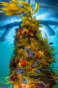 Piling with sponges, tunicates, and algae, Western Port Bay, Mornington Peninsula, Victoria, Australia