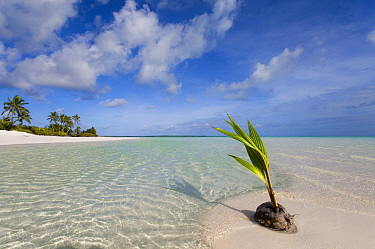 Coconut Palm (Cocos nucifera) fruit germinating on tropical beach, Keeling Islands, Australia