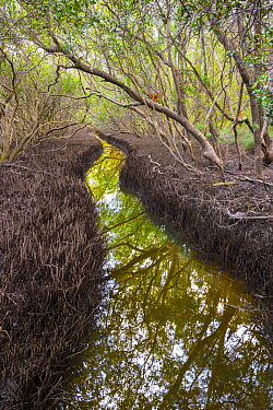 Gray Mangrove (Avicennia marina) forest and channel, Solitary Islands Marine Park, New South Wales, Australia