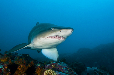 Grey Nurse Shark (Carcharias taurus), Solitary Islands Marine Park, New South Wales, Australia