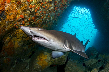 Grey Nurse Shark (Carcharias taurus), Fish Rock, New South Wales, Australia