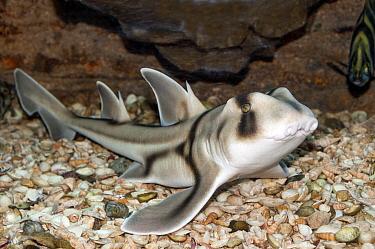 Port Jackson Shark (Heterodontus portusjacksoni), Australia