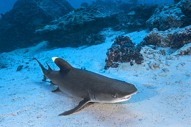 White-tip Reef Shark (Triaenodon obesus), Heron Island, Great Barrier Reef, Queensland, Australia