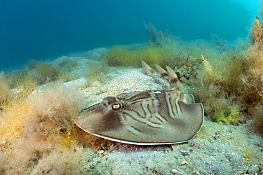 Southern Fiddler Ray (Trygonorrhina fasciata), Port Phillip Bay, Mornington Peninsula, Victoria, Australia