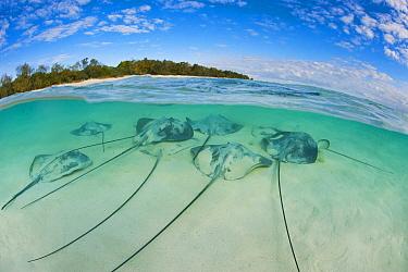 Pink Whip Ray (Himantura fai) group, Heron Island, Great Barrier Reef, Queensland, Australia