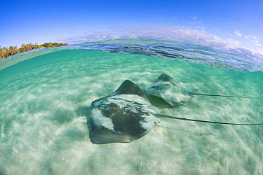 Pink Whip Ray (Himantura fai) pair, Heron Island, Great Barrier Reef, Queensland, Australia