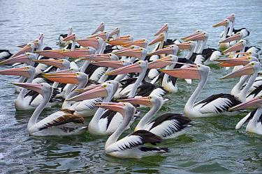 Australian Pelican (Pelecanus conspicillatus) flock, New South Wales, Australia