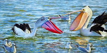 Australian Pelican (Pelecanus conspicillatus) in breeding plumage and basic plumage squabbling, New South Wales, Australia