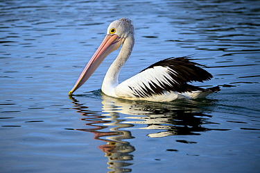 Australian Pelican (Pelecanus conspicillatus), New South Wales, Australia
