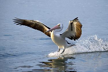 Australian Pelican (Pelecanus conspicillatus) landing, New South Wales, Australia