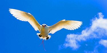 Red-tailed Tropicbird (Phaethon rubricauda) flying, Christmas Island, Australia