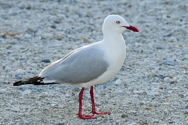 Silver Gull (Larus novaehollandiae), Heron Island, Great Barrier Reef, Queensland, Australia
