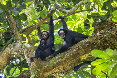 White-whiskered Spider Monkey (Ateles marginatus) mother and young in tree with another female, Amazon, Brazil