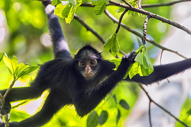 White-whiskered Spider Monkey (Ateles marginatus), Amazon, Brazil
