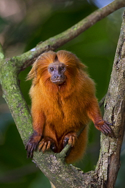 Golden Lion Tamarin (Leontopithecus rosalia), Atlantic Forest, Brazil