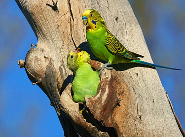 Budgerigar (Melopsittacus undulatus) father with begging chick at nest cavity, Queensland, Australia