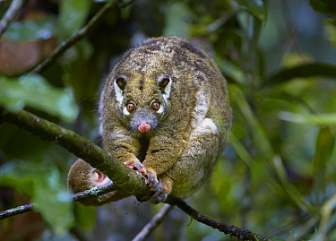 Green Ringtail Possum (Pseudochirops archeri), Atherton Tableland, Queensland, Australia