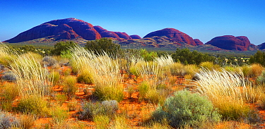 Spinifex Grass (Spinifex sp) in desert, Kata Tjuta, Australia