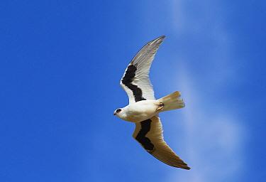 Letter-winged Kite (Elanus scriptus) flying, Queensland, Australia