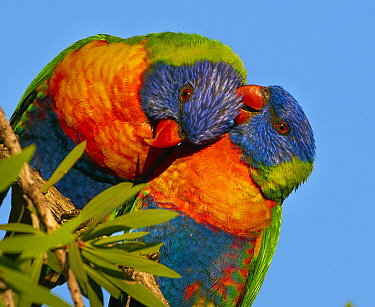 Rainbow Lorikeet (Trichoglossus haematodus) pair preening during courtship, Magnetic Island, Queensland, Australia