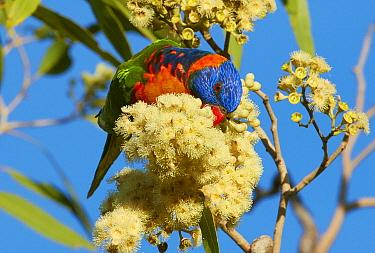 Red-collared Lorikeet (Trichoglossus rubritorquis) feeding on flower nectar, Kimberley, Western Australia, Australia