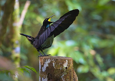Victoria's Riflebird (Ptiloris victoriae) male in courtship display, Atherton Tableland, Queensland, Australia. Sequence 2 of 3