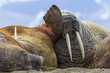 Walrus (Odobenus rosmarus) group, Svalbard, Norway