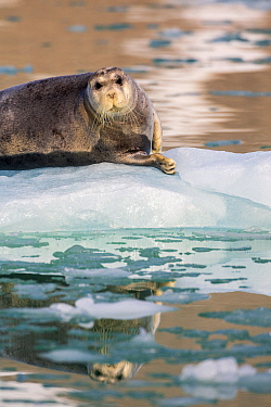 Bearded Seal (Erignathus barbatus) on ice floe, Magdalenefjorden, Svalbard, Norway