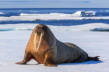 Walrus (Odobenus rosmarus) on ice floe, Svalbard, Norway