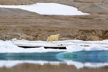 Polar Bear (Ursus maritimus) on coast, Murchisonfjorden, Nordaustlandet, Svalbard, Norway
