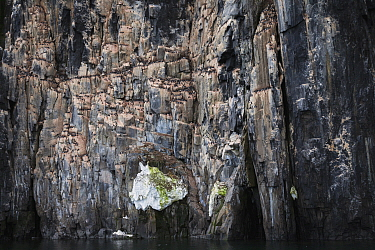 Brunnich's Guillemot (Uria lomvia) nesting colony on cliff, Alkefjellet, Hinlopen Strait, Svalbard, Norway