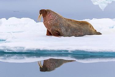Walrus (Odobenus rosmarus) on ice floe, Hinlopen Strait, Svalbard, Norway