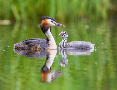 Great Crested Grebe (Podiceps cristatus) chick with parent, Champs-Pittet, Vaud, Switzerland