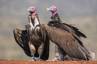 Lappet-faced Vulture (Torgos tracheliotus) pair, Zimanga Game Reserve, South Africa